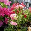 Roses et pétunias