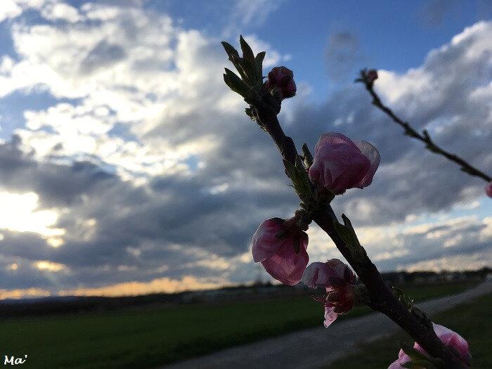 180329_verger_fleurs_3
