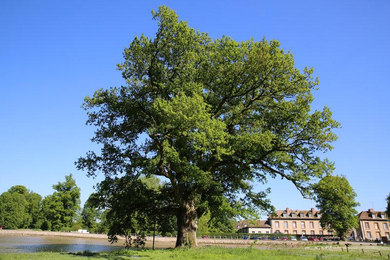 9R4A4115 chêne de Montorgueil Rambouillet