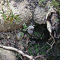 Morilles vulgaires sous racines de frêne...