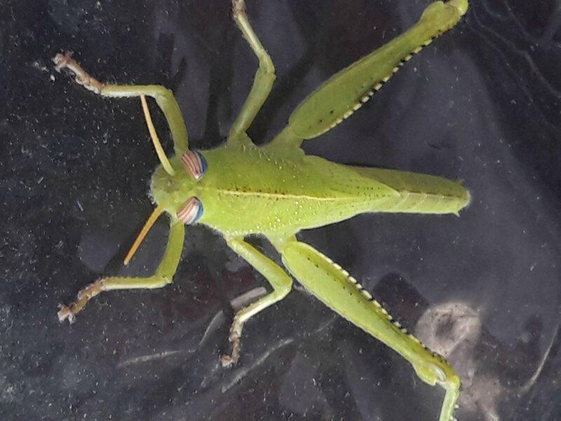 criquet egyptien (7)