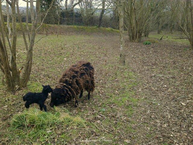 Deuxième bébé mouton
