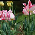 tulipes 6 (Large)