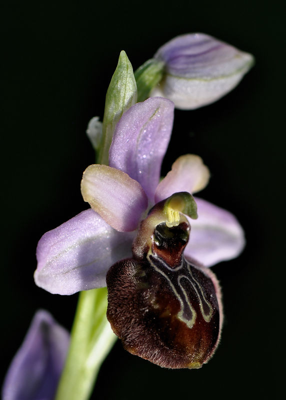 _DSC0731_Ophrys_aveyronensis