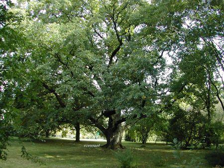 Quercus_robur__1_