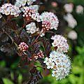 Les trois saisons du physocarpus 'diable d'or'