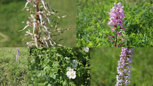 2013-06-16 orchis+fraxinelle