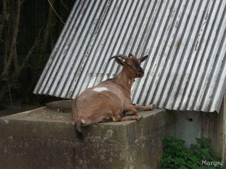 chèvre étant d'ombreval à domont
