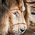 lion beauval4