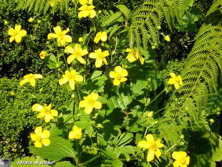 8952_Ranunculus_cortusifolius
