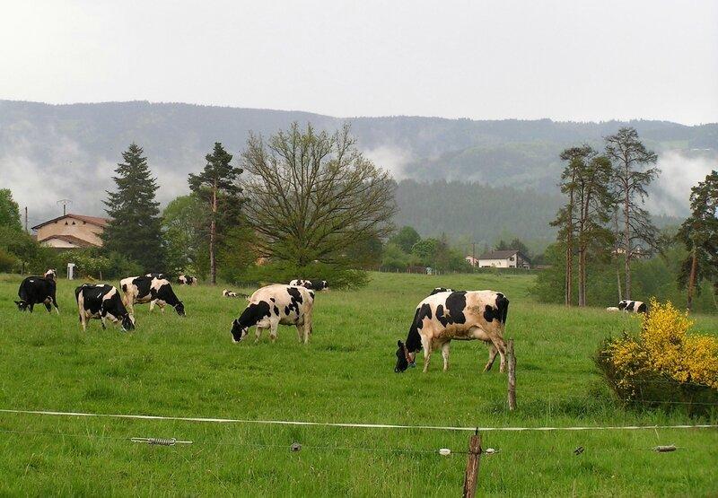 2017 05 18 Ferme de l'Ambertoise (102) - vaches ©Magali Kunstmann-Pelchat