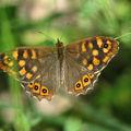 Pararge aegeria (le tircis) ? nymphalidae