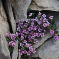 Saxifrage à feuilles opposées ()Saxifraga oppositifolia)