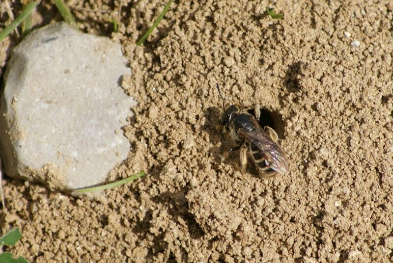 abeille- colletes succinctus 01