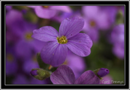 2010_05_23_Une_fleur_d_aubri_te