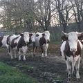 2008 10 26 Les vaches qui rentrent à l'étable