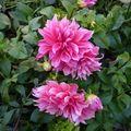 2009 10 13 Dalhias rose à grosse fleur (2)