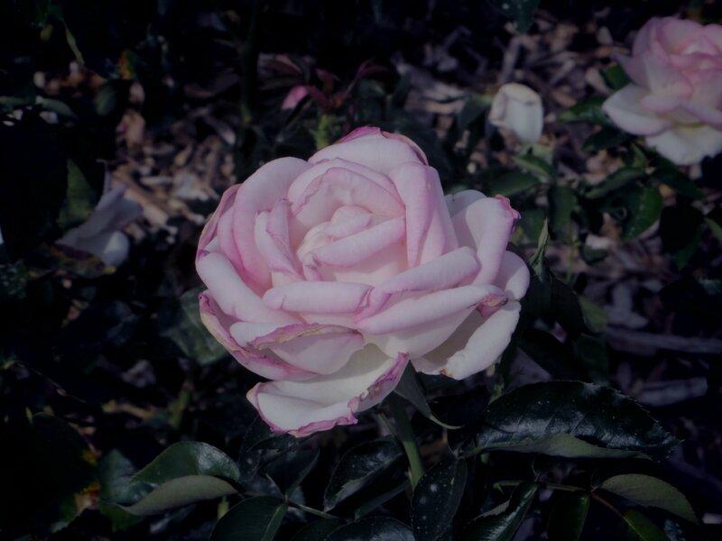 IMGP0500 rose 1