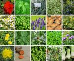 Medicinal-Plants-You-Can-Grow-In-Your-Garden