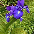 Iris des Pyrénées, Iris Pyrenaica...