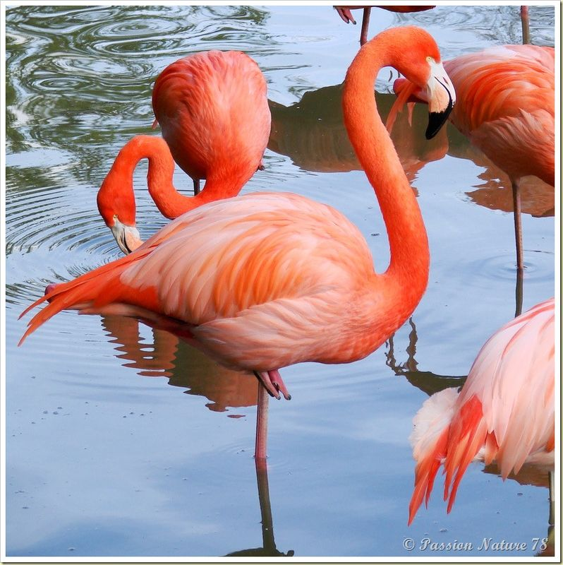 Les flamants roses (22)