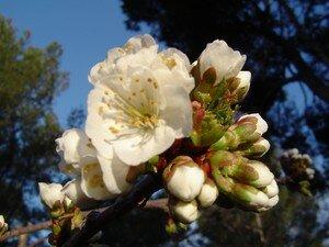 cerisier_26_mars