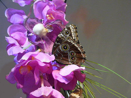 papillorchidee