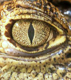 oeil_de_crocodile_1