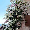 Bougainvillier rose et blanc