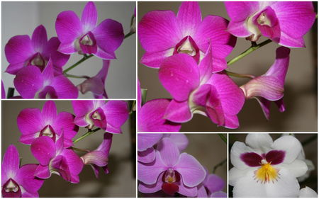 orchid_e_rose_2