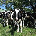Embrassac, vaches sous arbre 1 (15)