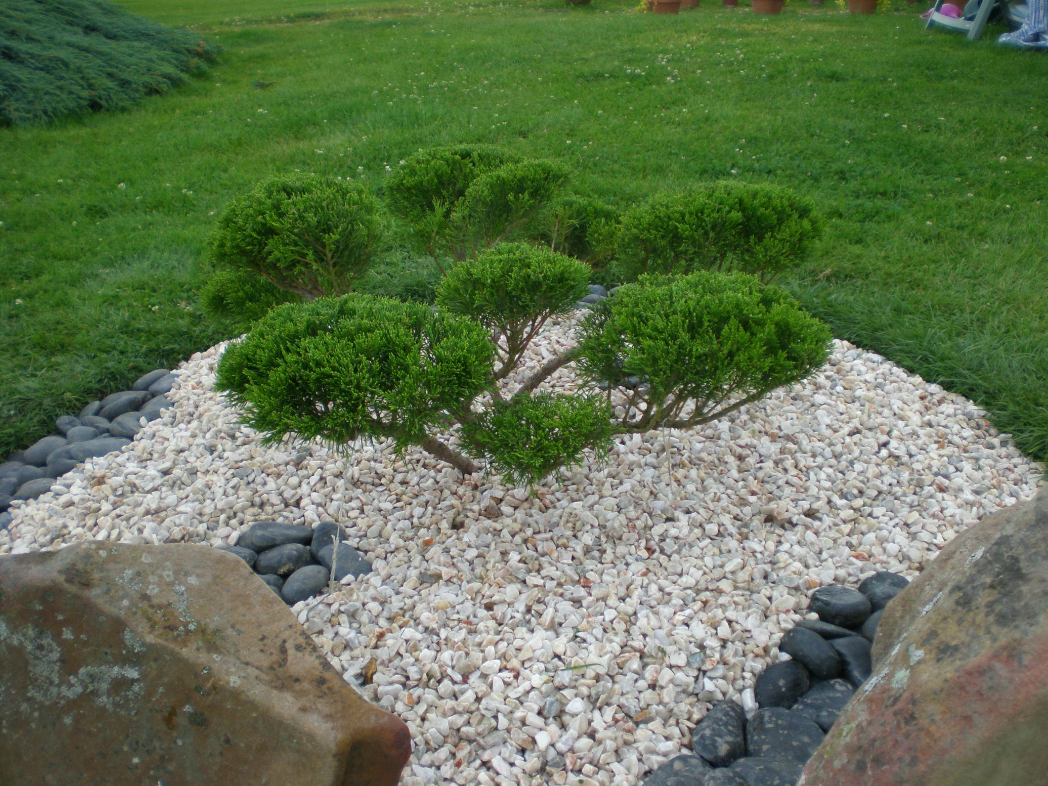 Niwaki De Juniperus Photo De Le Jardin D Ornement Boutures De