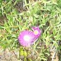 jolie fleur mauve