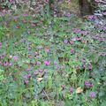 1-Cyclamens sauvages (tapis)