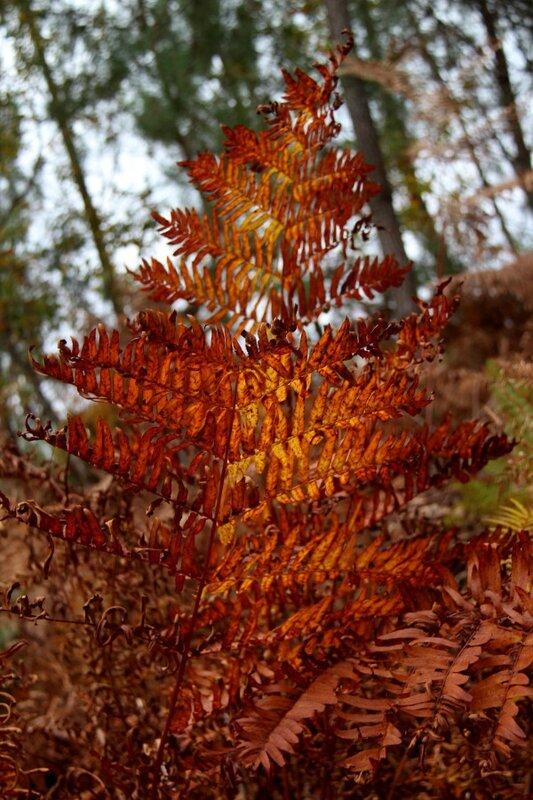 Fougères aux couleurs d'automne