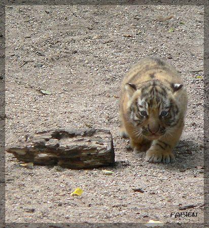 bebe_tigre