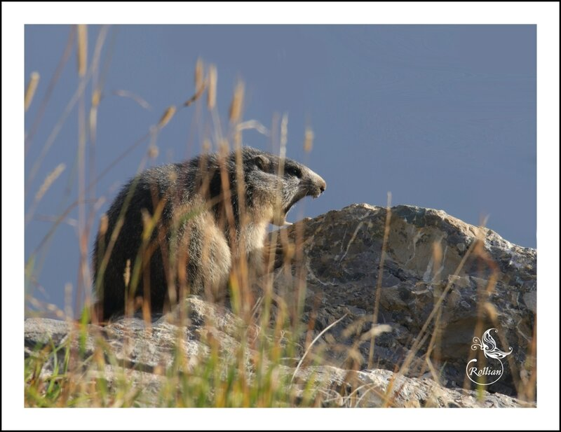 Famille marmotte 3