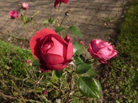 roses_du_24_novembre