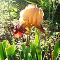 iris de la toussaint