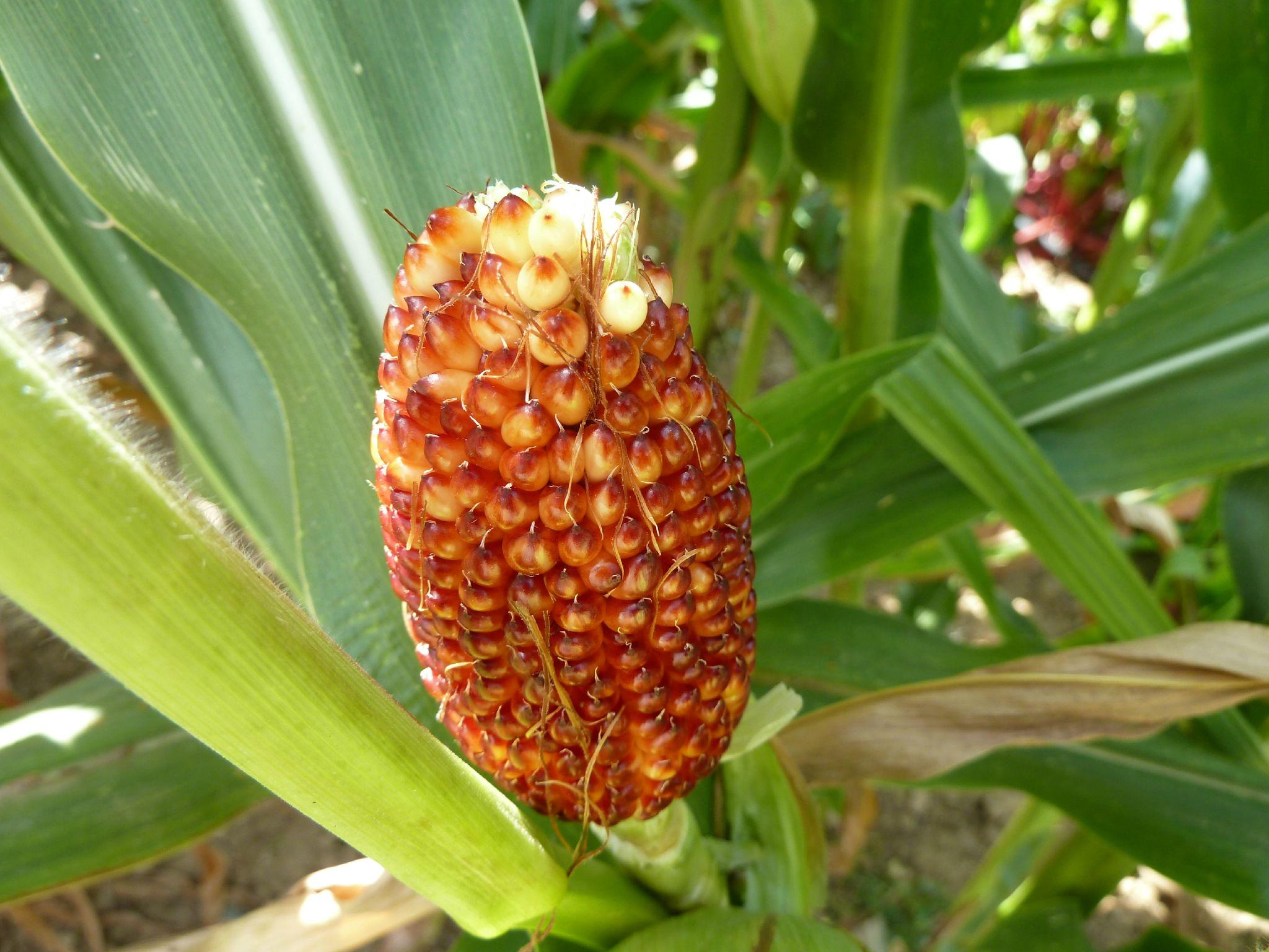maïs pop corn variété fraise - www.passionpotager.canalblog.com