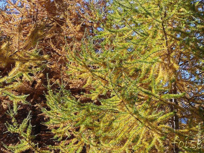 branches étalées ou réfléchies éparses