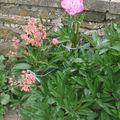 2008 06 24 Pivoine et Heuchera en fleurs