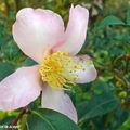 Camellia Sasanqua 'Splendour'