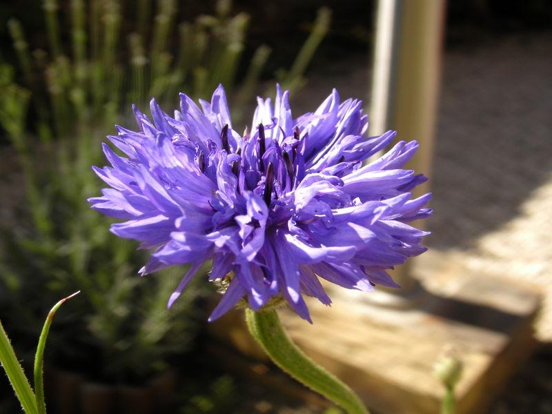 f_bleue_2
