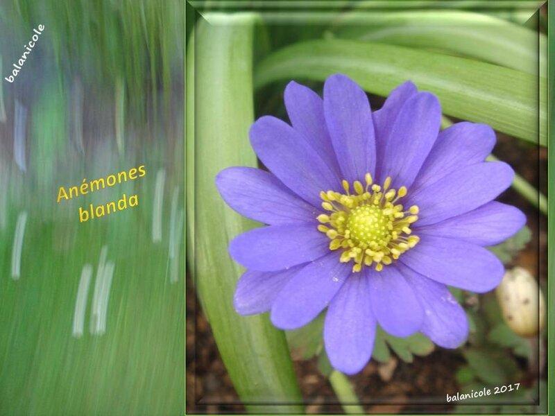 balanicole_2017_03_le printemps des vivaces_09_blanda1