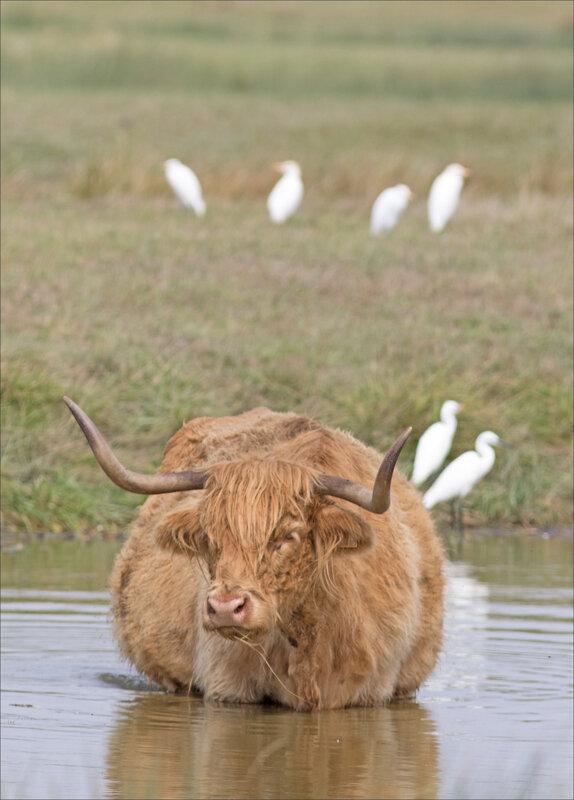 MS Brouage 260817 32 vache eau