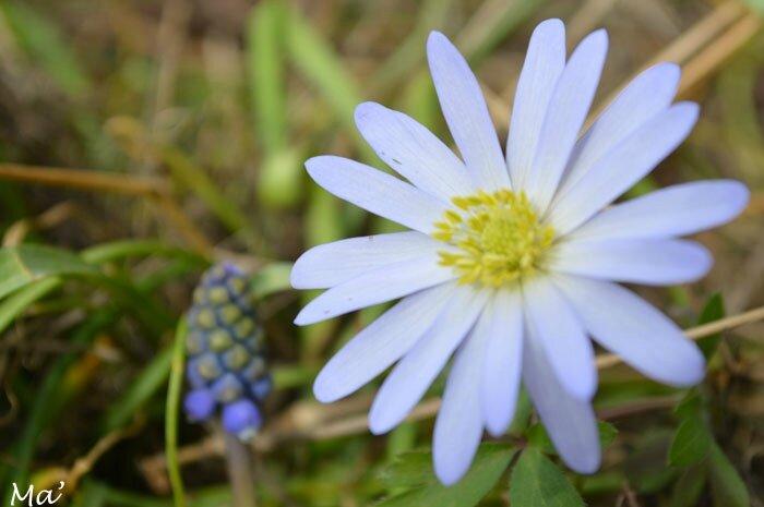 150327_anemone