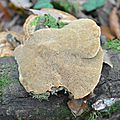 Daedaleopsis confragosa (2)