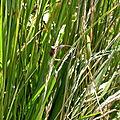 Punaise (Syromastes rhombeus)
