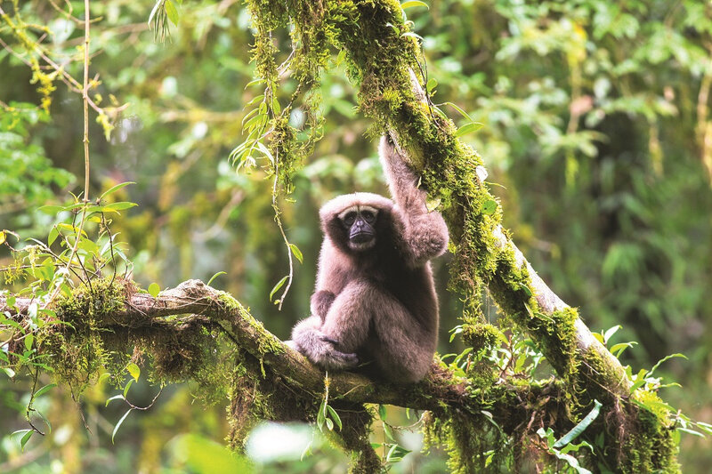 GIBBON HOOLOCK DE SKYWALKER (PHOTO FAN PENGFEI)